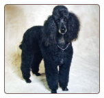 Pampered Package: Dogs (Standard Poodle)